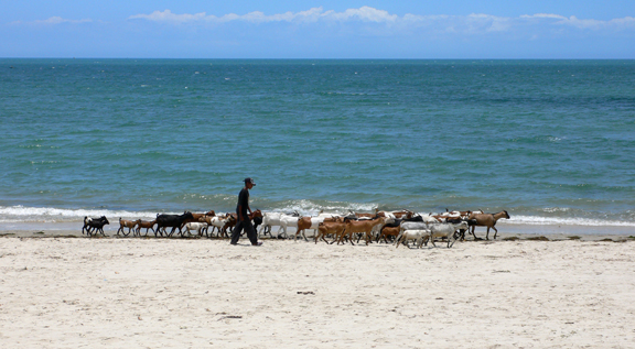 Goats on beach
