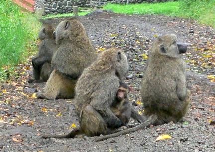 06 Baboons