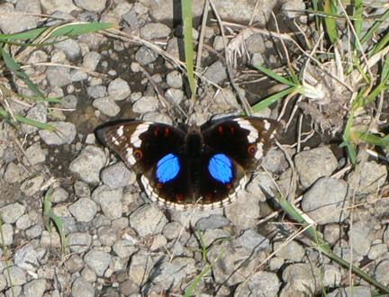 33 Butterfly