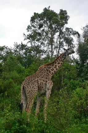 04 Close_giraffe