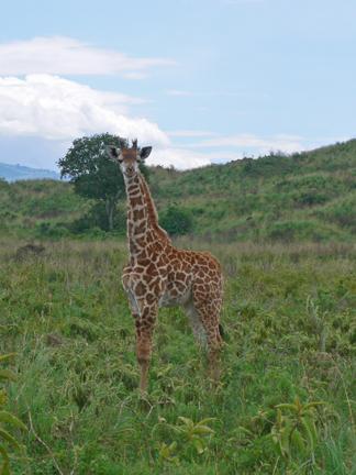 28 Giraffe_tazama
