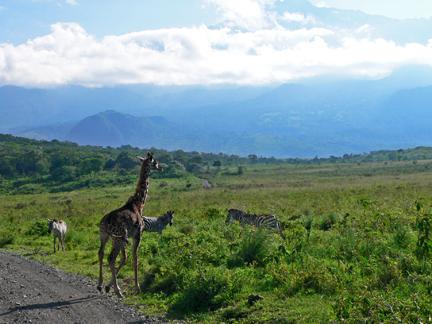 26 Giraffe_zebs