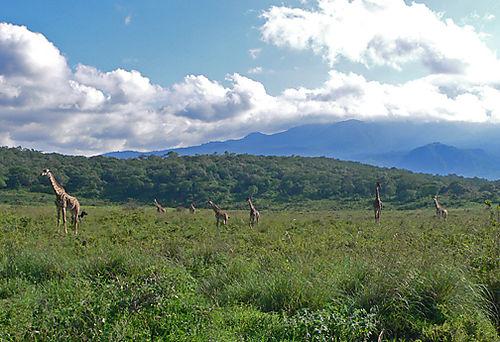 19 Giraffes_open_range