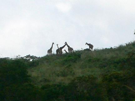 17 Giraffes_silhouette