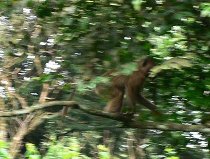 09 Monkey_in_motion