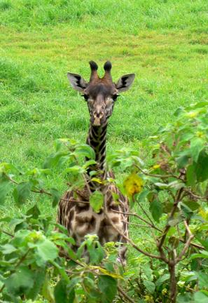 05 Peeking_giraffe