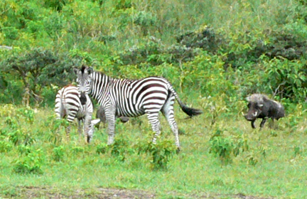 31 Zebra_warthog