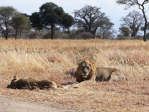 06 Lions