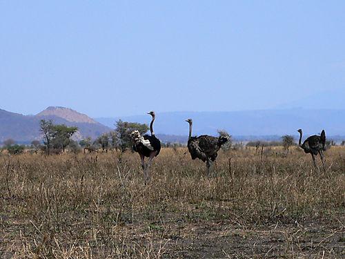 11 Ostriches
