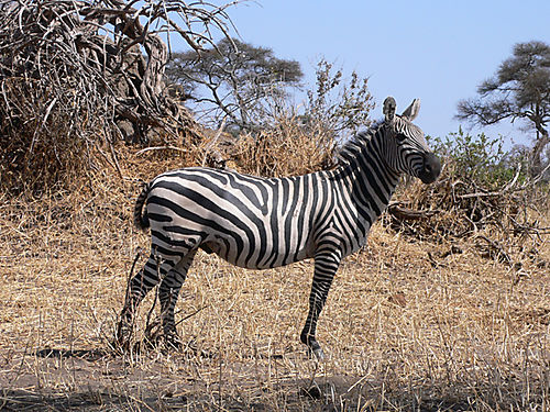 03 Zebra